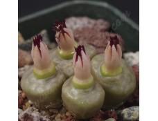 CON004.03  Conophytum angelicae #3, GM183