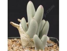 CON013.05 Conophytum bilobum ssp. bilobum var. bilobum SB2215