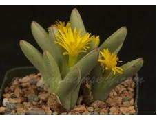 CON013.06 Conophytum bilobum SB2223