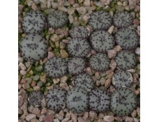 CON100.00 Conophytum obcordellum