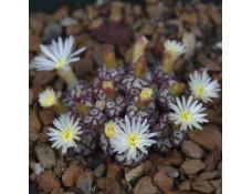 CON100.02 Conophytum obcordellum ssp. obcordellum