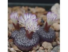 CON100.03 Conophytum obcordellum ssp. obcordellum, RR992